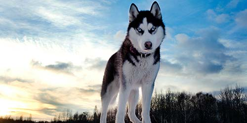 Husky Dog Names 175 Great For
