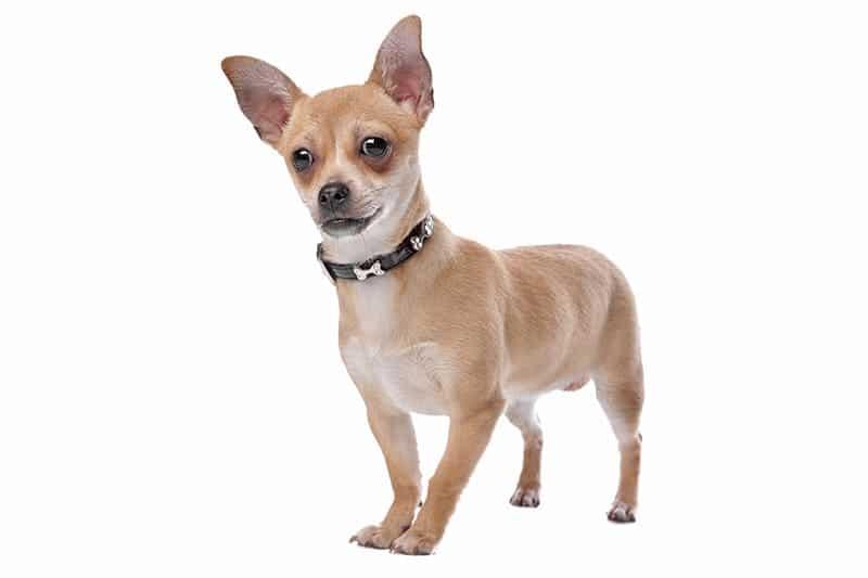 150 Perfect Chihuahua Names My Dog S Name