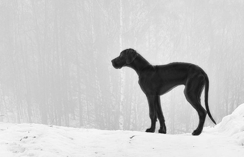 The Ultimate List of Great Dane Names - My Dog's Name