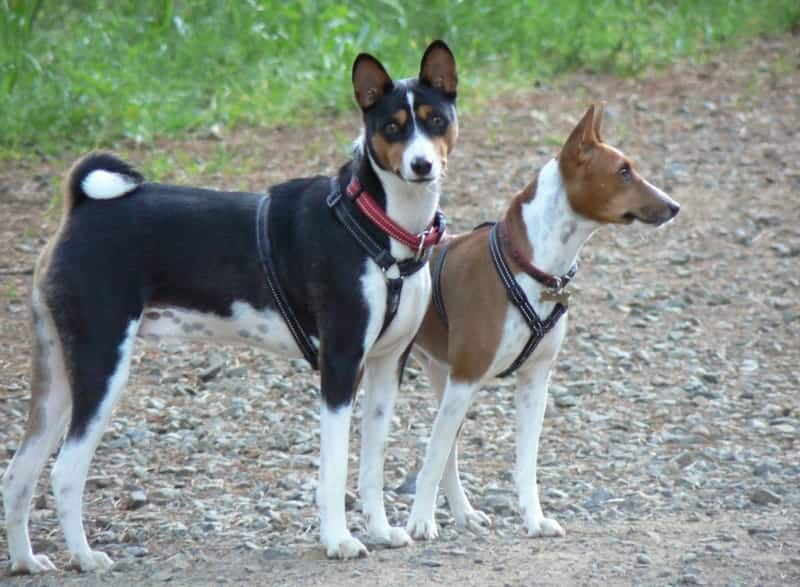 9 Incredible African Dog Breeds You Need To Meet - My Dog's Name